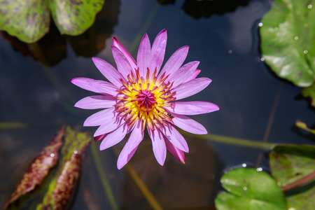 pink lotus: Bee with pink lotus in the pond. Stock Photo