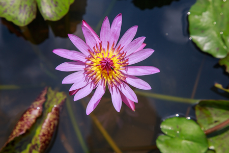 lotus flowers: Bee with pink lotus in the pond. Stock Photo
