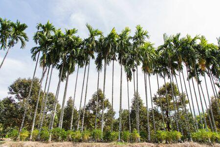 betel: Betel palm in the garden, thailand