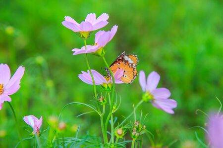cosmos flower: butterfly on a Cosmos flower