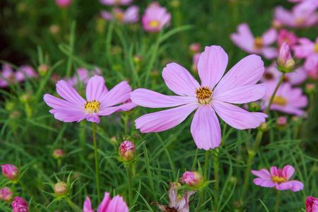sonata: Cosmos Sonata Flowerfield pink flower field