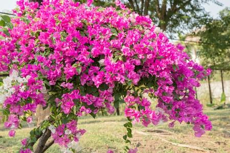 Bougainvillea flowers in garden, Thailand Stock Photo