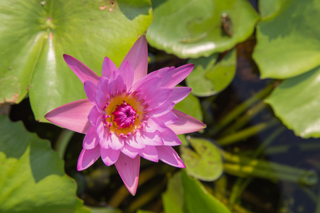 Bright soft purple lotus