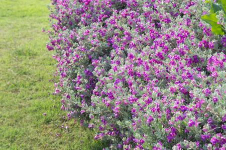 beautiful Purple Leucophyllum frutescens flowers