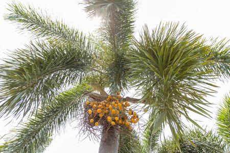 kernel: Palm kernel on palm tree.