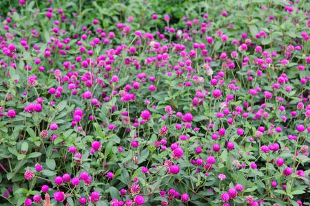 Close up of pink amaranth Flower