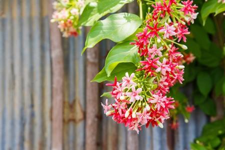 Combretum indicum, pink flowers