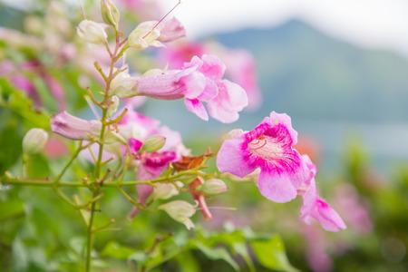 Vite di tromba rosa con acqua di goccia dopo la pioggia, fondo della natura.