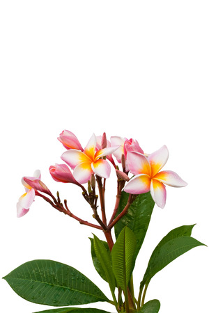 frangipani flower on isolated  photo