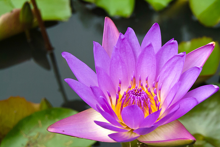 violet lotus flower  photo