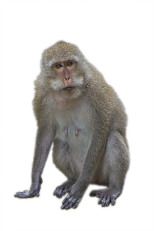 白い背景に対して隔離される猿