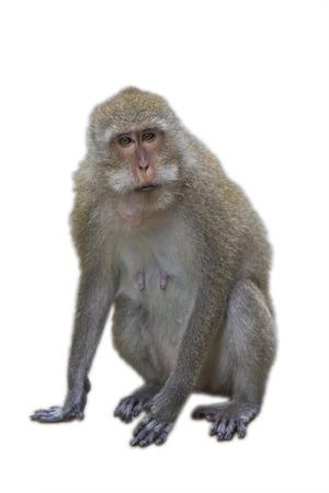 흰색 배경에 대해 격리 원숭이