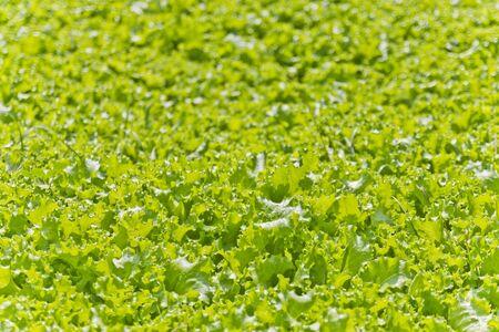 lactuca: Fresh lactuca sativa in field for background