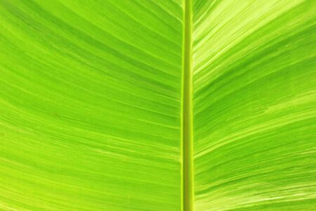 jungle green: pattern of banana leaf from banana tree inside the park Stock Photo