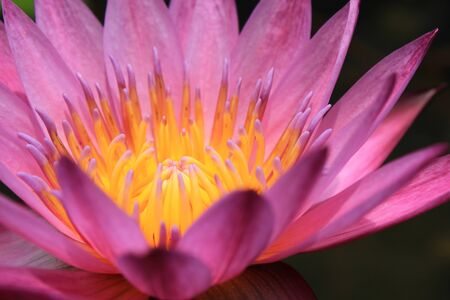 closeup beautiful pink water lily pollen in the garden photo