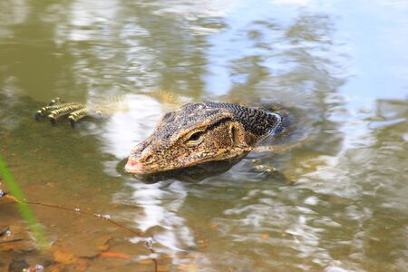 salvator: varanus salvator have a break along the canal