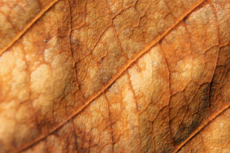 leaf vein: macro background of dry leaf, focus on center of the image, close-up to leaf vein. Stock Photo
