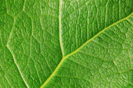 leaf vein: macro background of fresh leaf, focus on center of the image, close-up to leaf vein. Stock Photo
