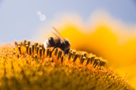 Bee on sunflower gathering for honey Imagens