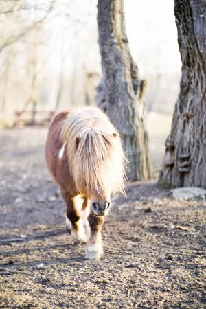 long-haired domestic pone with beautiful mane in sunny day