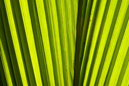Green leaf of a coconut palm  1 photo