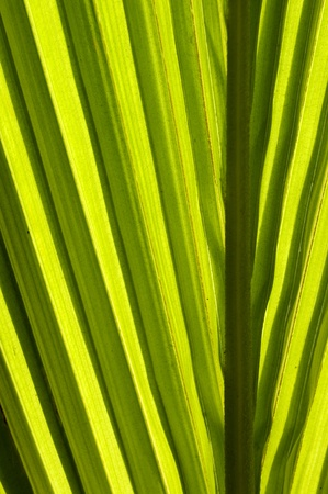 Green leaf of a coconut palm  2 Stock Photo