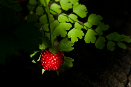 Wild strawberry Close-Up in forest, chiang mai Thailand