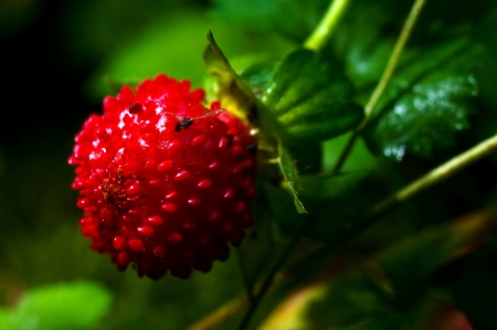 Wild strawberry Close-Up in forest, chiang mai Thailand photo