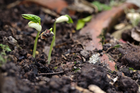 Beans seedling is young plant Stock Photo