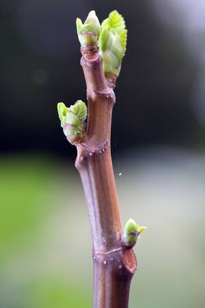 close up of young figs leaves in garden