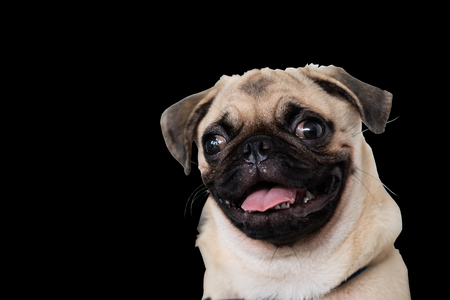 A portrait of a cute Pug dog sitting on the floor, isolated on black background with clipping paths inside