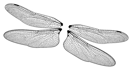 dragonfly wings: Dragonfly Wings Illustration