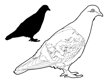 pigeons: Vector Pigeon Line Drawing with Silhouette