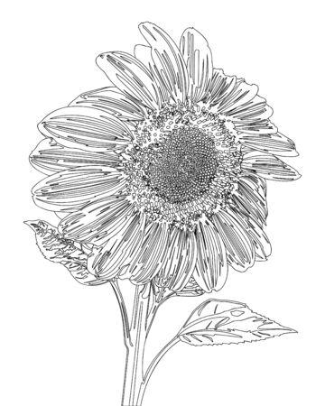 sunflower drawing: Sunflower Line Vector