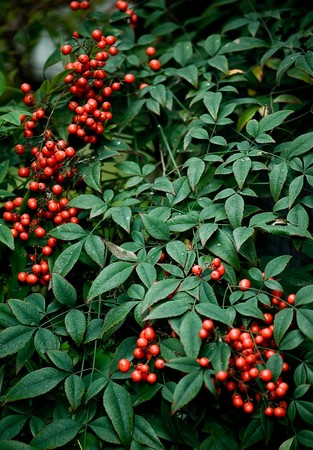 Red berries on a green bush.