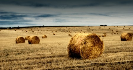 A field of straw gathered into multiple bales of hay.