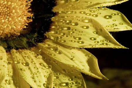 A Yellow sunflower with water drops on the petals.