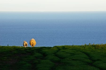 A sheep and lamb walking away through a green field with ocean and sky in background.