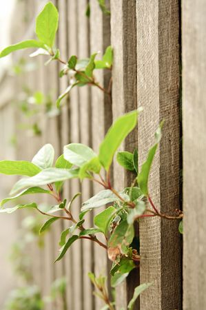 Leaves poking through the railings in a wooden fence. Stock Photo