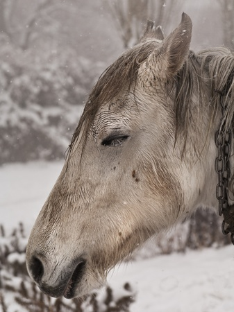 This horse lives out in the snow, and is wet from the snow melting on it. photo