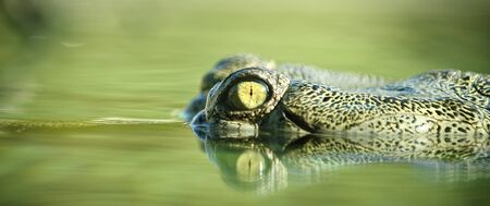 The eye and head of an aligator above the water line of a swamp. photo