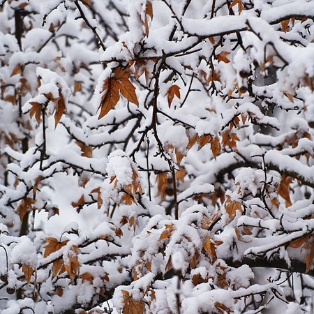 Close up view of the first snow fall for the year. Leaves and Branches covered in snow. Stock Photo - 8719334