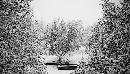A black and white view of a beautiful winter scene of trees in a park after a fresh snow fall. photo