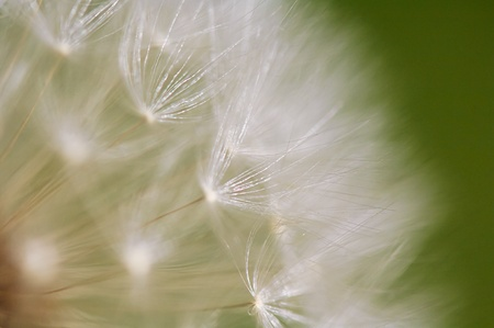 A close up view of a beautiful dandelion blossom in a fresh spring garden. Stock Photo - 9614624