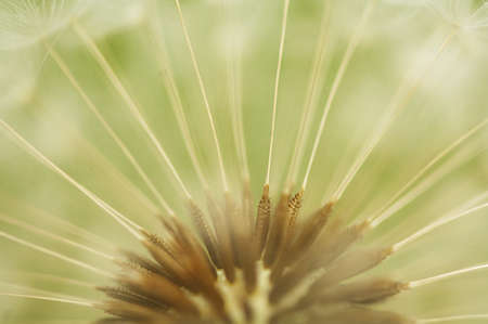 A close up view of a beautiful dandelion blossom in a fresh spring garden. Stock Photo - 9614623