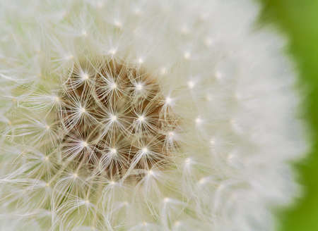 A close up view of a beautiful dandelion blossom in a fresh spring garden. photo