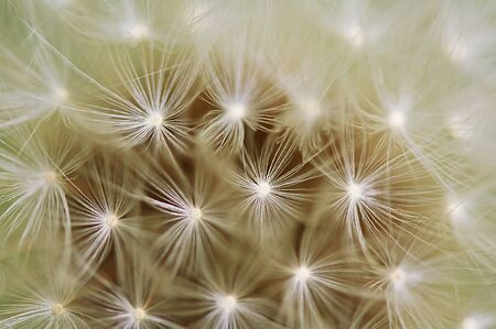 A close up view of a beautiful dandelion blossom in a fresh spring garden. Stock Photo - 9614625