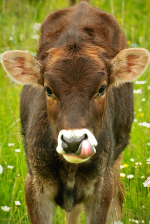 A brown cow in a meadow with green grass and white daisies licking its lips. Stock Photo - 9881129