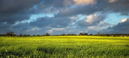 A break in the clouds let beautiful golden light enhance the yellow of the canola fields Stock Photo - 17692710