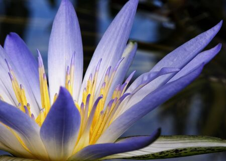 Beautiful purple and yellow Amazon Waterlily photo